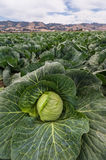 Cabbage for harvest Stock Photos