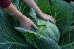 Cabbage harvest Stock Photos
