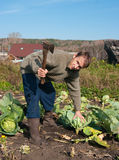 Cabbage harvesting Royalty Free Stock Images