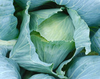 Cabbage head Royalty Free Stock Images