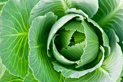 Cabbage head. Head of fresh cabbage with a lot of leaves Stock Photography