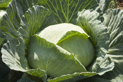 cabbage head Royalty Free Stock Photos