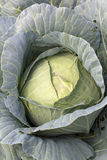 Cabbage head. Stock Images