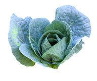 Cabbage head growing Royalty Free Stock Images