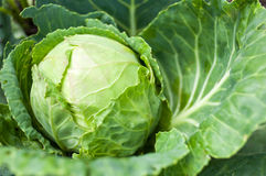 Cabbage head growing on vegetable bed Royalty Free Stock Photo