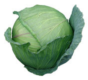 Cabbage head selected. And ready for harvest. This is the hybrid for commercial production Stock Image