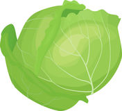 Cabbage illustration vector. Fresh green cartoon Cabbage head vegetable isolated on white stock illustration