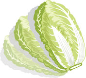 Cabbage illustration Royalty Free Stock Photo