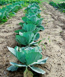 Cabbage and kohlrabi field Royalty Free Stock Image