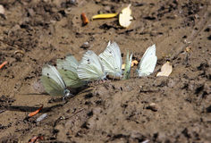 Cabbage or Large White butterflies Pieris brassicae on ground Stock Images
