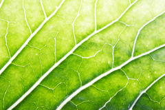 Cabbage leaf Stock Photos