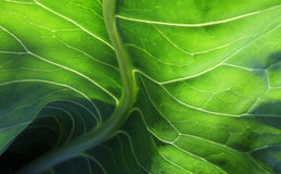 Cabbage leaf Royalty Free Stock Images