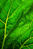 Cabbage Leaf Stock Images