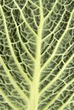 Cabbage leaf closeup Stock Photos