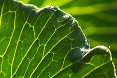 Cabbage leaf with dew Stock Images