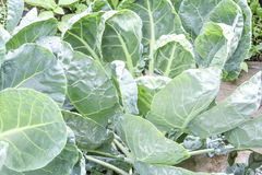 Cabbage leaf Stock Image