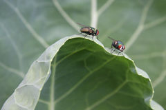 Cabbage Leaf With Houseflies. Houseflies sitting on cabbage leaf royalty free stock photography