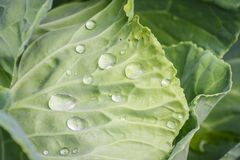 Cabbage leaf Royalty Free Stock Photo