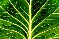 Cabbage leaf in the sunlight. Micro royalty free stock image