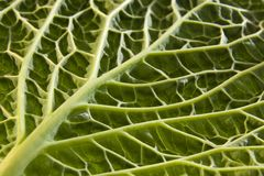 Cabbage leaf underside Stock Images