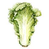Cabbage leaf. watercolor painting. On white background Stock Image