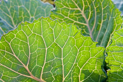 Cabbage leafs Royalty Free Stock Image