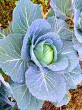 Cabbage is a leafy green royalty free stock photos
