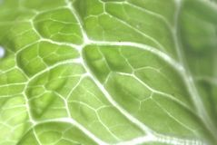 Cabbage leave Royalty Free Stock Photography