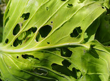 Cabbage leaves Stock Photo