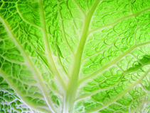 Cabbage leaves. Detail of cabbage leaf against Royalty Free Stock Photo