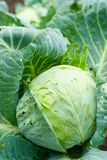 Cabbage with leaves Royalty Free Stock Photo