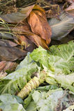 Cabbage leaves on a compost heap Royalty Free Stock Photography