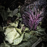 Cabbage Leaves on a Compost Heap Stock Photography