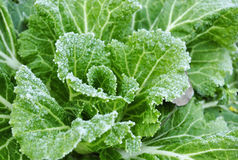 Cabbage leaves covered with frost Stock Photo
