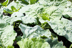Cabbage leaves grow. In the garden Royalty Free Stock Photo