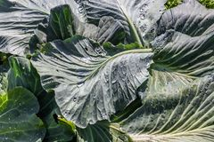 Cabbage leaves with water drops from rain Stock Photography