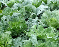 Cabbage leaves wet with dew. Stock Photography