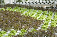 Cabbage and Lettuce. In Hydroponics Plant Royalty Free Stock Photos