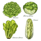 Cabbage and lettuce vegetable isoletad sketch. Cabbage and lettuce vegetable sketch. Fresh green bunches of chinese or napa cabbage, romaine, iceberg and batavia stock illustration