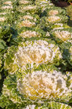 Cabbage. Lines of cabbages or bassilica plants in a vegetable garden ready for harvesting Royalty Free Stock Photography