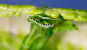 Cabbage Looper, cabbage worm, moth family Noctuidae Caterpillar Stock Images
