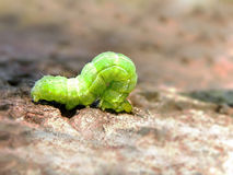Cabbage Looper caterpillar Stock Image