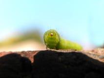Cabbage Looper caterpillar 1 Stock Photo