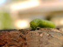 Cabbage Looper Caterpillar 3 Royalty Free Stock Photo