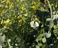 Cabbage Moth on Flowering Broccoli Stalk. White cabbage butterfly on yellow bolted broccoli flowers Royalty Free Stock Photos
