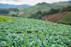 Cabbage mountain. Cabbage farm healthy landscape green, Thai, vegetable garden organic food plant nature, growing sky mountain Stock Photography