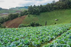 Cabbage mountain. Cabbage farm healthy landscape green, Thai, vegetable garden organic food plant nature, growing sky mountain Stock Image
