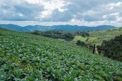 Cabbage mountain. Cabbage farm healthy landscape green, Thai, vegetable garden organic food plant nature, growing sky mountain Stock Photos