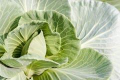 Cabbage mustard Stock Photos