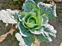 Cabbage from my garden. Natural growth Royalty Free Stock Images